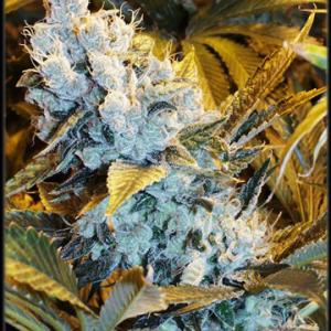 Indica Strain Cannabis Clones