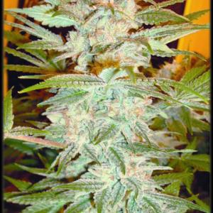 Sativa Strain Cannabis Clones